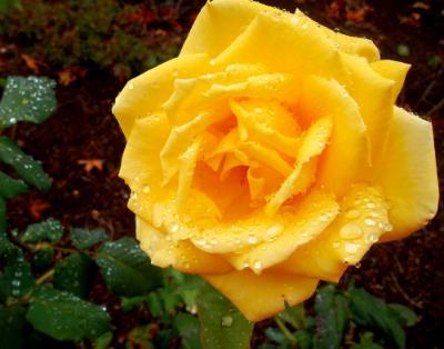 Linda's Rose